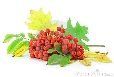 Cluster Of Wild Ash With Leaves Autumn Still Life Stock Photos - Image: 6656403