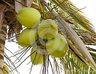 Clusters of green coconuts