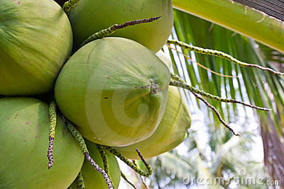 Clusters of green coconuts close-up