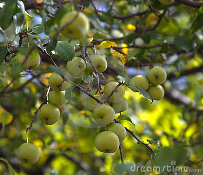Clusters of wild crab apples