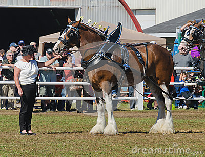 Clydesdale Draft Horses at Country Fair Editorial Photography