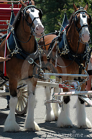 Free Clydesdale Horses Royalty Free Stock Image - 990426