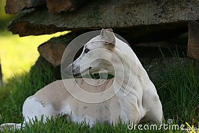 Cão de corrida