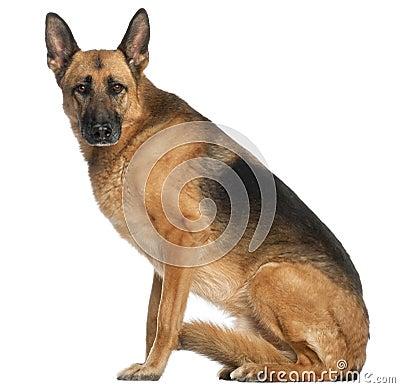 Cão de pastor alemão, 8 e uma metade dos anos velhos