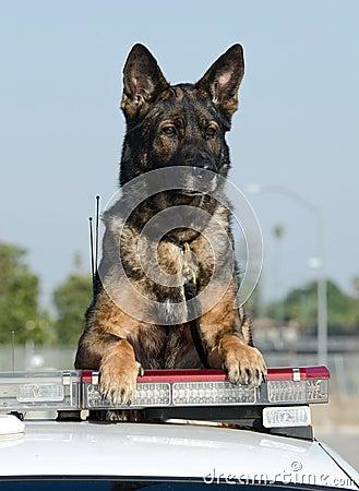 Cão de polícia