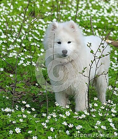 Cão do Samoyed