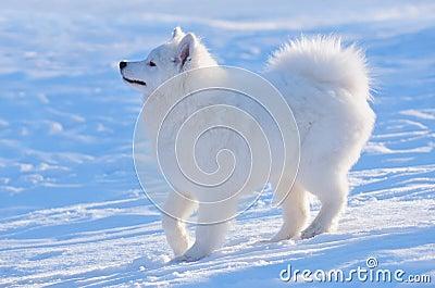 Cão do Samoyed - filhote de cachorro