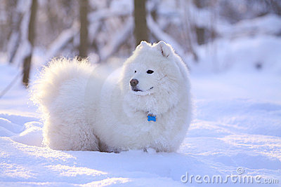 Cão do Samoyed na neve