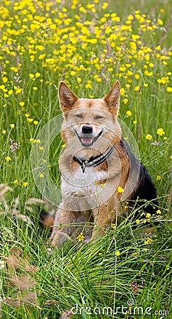 Cão feliz nas flores do campo