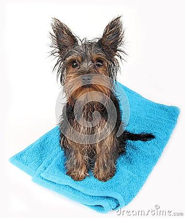 Cão molhado após o banho