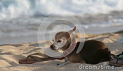 Cão na praia com sandla
