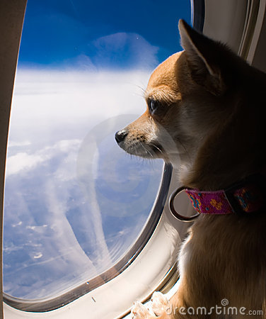 Cão que olha para fora o indicador do avião