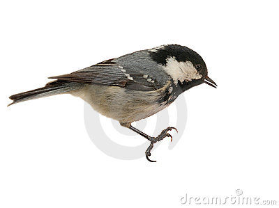 Coal Tit Perching - Isolated