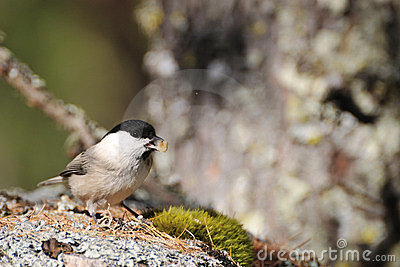 Coal Tit on a rock