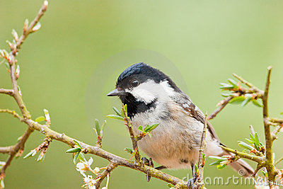 Coal Tit on Thorny Branch