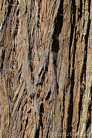 Coast redwood tree bark from Muir Woods