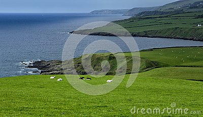 Coast with sheep