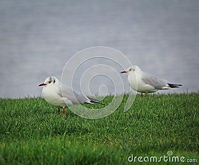 Coastal terns