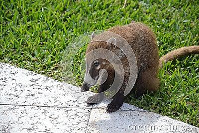 Coati animals fauna exotic Yucatan tropical Mexico