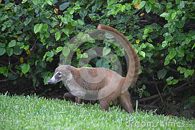 Coati animals fauna exotic Yucatan tropical Mexico