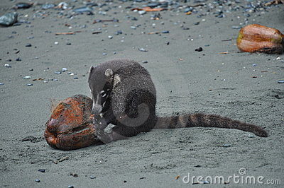 Coati eating a coconut