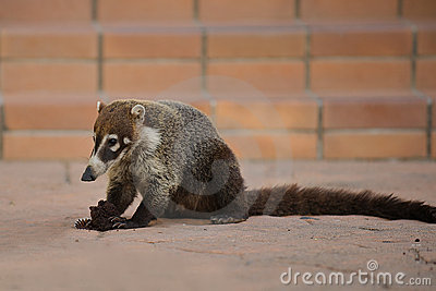 Coati, native mammal in Costa Rica.