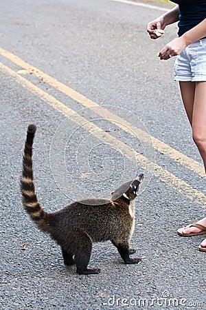 Coati on roadside