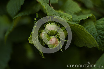 Cob Nuts on a Hazel Tree in Summer