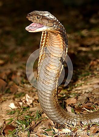 βασιλιάς cobra