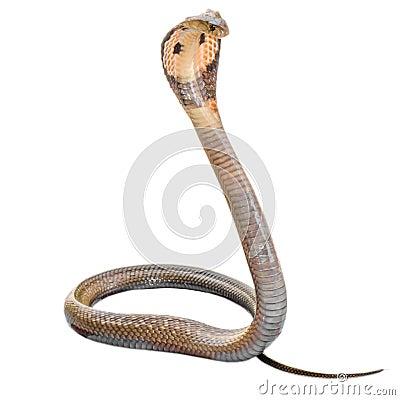 Free Cobra Stock Photos - 43469853