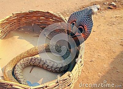 A cobra in a basket