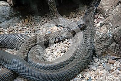 Cobra do esguicho de Mozambique.