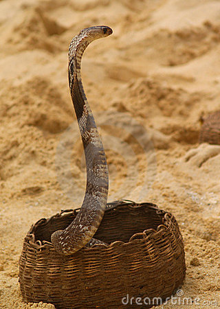Cobra emerging from basket