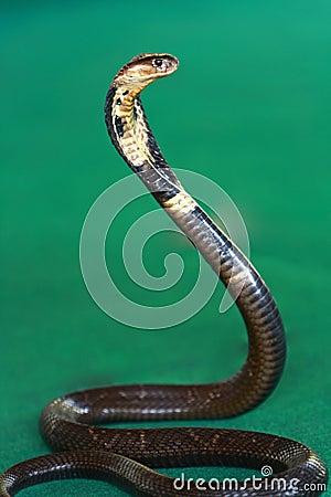 Free Cobra Snake Stock Photo - 27983440