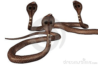Cobra snakes
