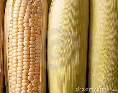 Cobs of Fresh Orgnic Corn