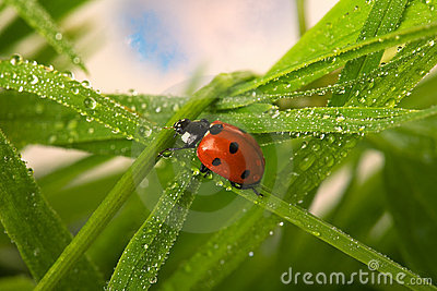 Coccinelle humide