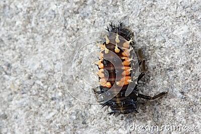 Coccinellida larva