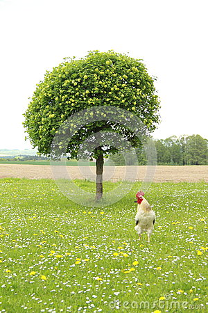 Cock in front of tree