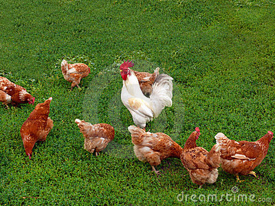 and hens