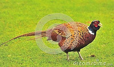 Cock Pheasant (Phasianinae colchicus)
