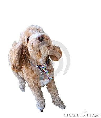Cockapoo Dog - Isolated on White