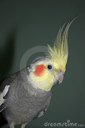 Free Cockatiel Royalty Free Stock Images - 23131089