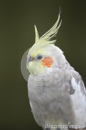 Free Cockatiel Bird Royalty Free Stock Images - 22111689