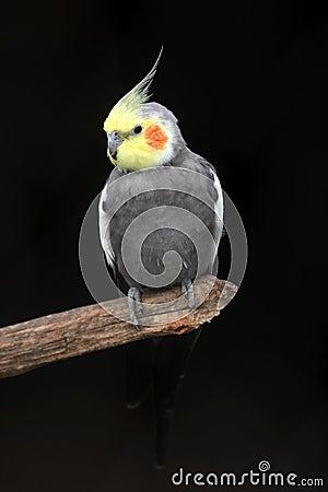 Free Cockatiel Bird Stock Photos - 8303153