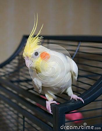 Cockatiel bird on a cage