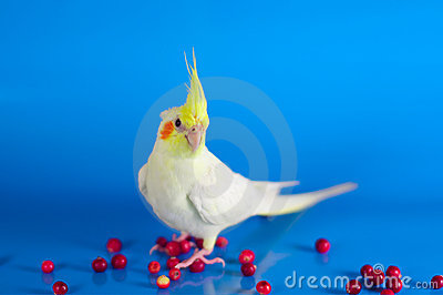 Cockatiel bird colourful berries background