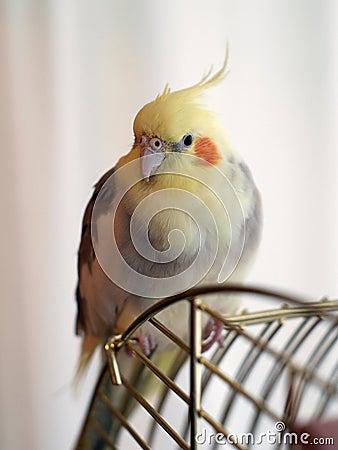 Free Cockatiel Bird On A Cage Royalty Free Stock Photos - 6605008