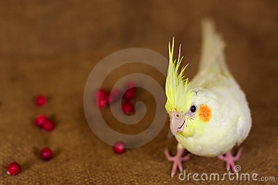 Cockatiel bird parrot and berries