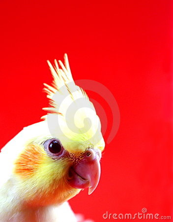 Free Cockatiel Bird Parrot Head On Red Stock Photography - 20324392